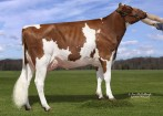 ND-Druvale Dakr Dazl-Red VG-85-2YR